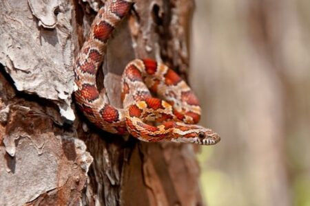 How Long Can a Corn Snake Go without Eating?