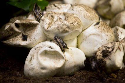 How long do snake eggs incubate?
