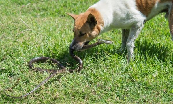 snake bite treatment for dogs