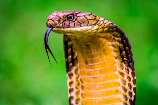 How much venom does a snake produce?
