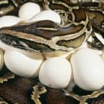 do snakes incubate their eggs?