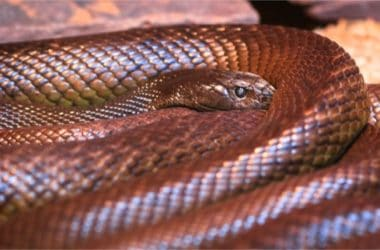 Inland Taipan Snake facts