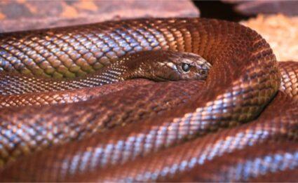 Inland Taipan Snake facts