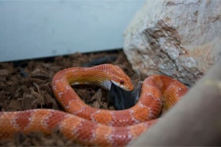 Is it better to feed your snake live or dead mice?