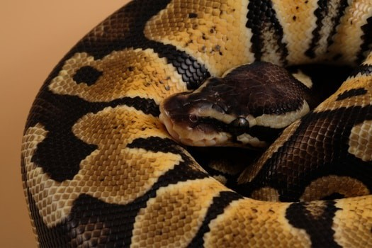 Pastel Ball Python Colors