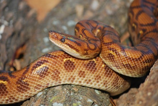 interesting rainbow boa constrictor facts