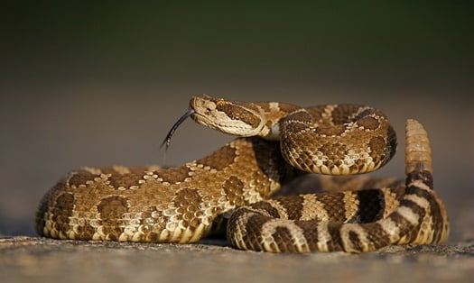 gopher snake vs. rattlesnake