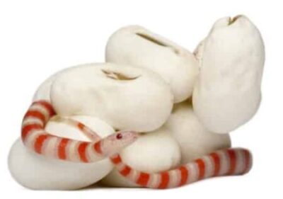 When Do Milk Snakes Lay Eggs Snakes For Pets