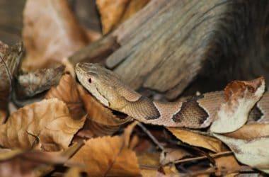 copperhead hiding in leaves
