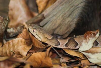 copperhead hiding in leaves