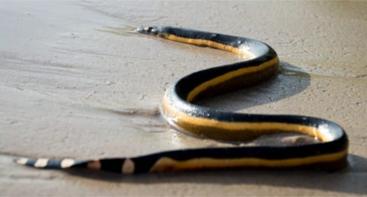 Yellow-Bellied Sea Snake interesting facts