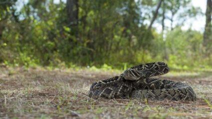 are diamondback rattlesnakes deadly?