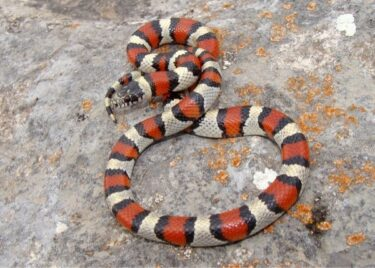 are milk snakes aggressive?