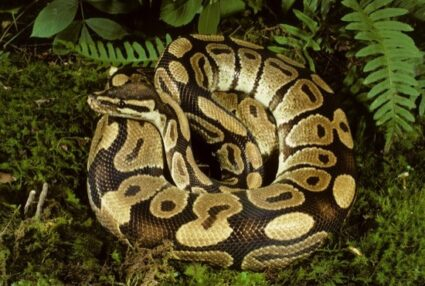 are pythons immune to venom?