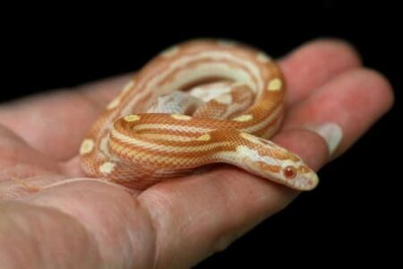 baby corn snake isn't eating