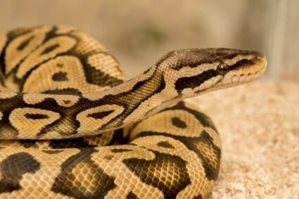 ball python interesting facts