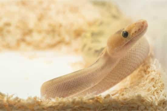 aspen shavings for snakes
