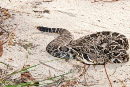 diamondback rattlesnake venom effects