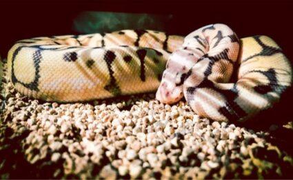 do pastel ball pythons lose their color?