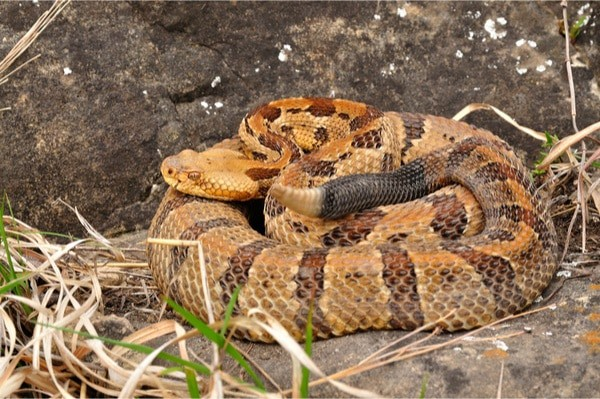 Timber Rattlesnake coiled on a rock