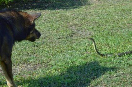 rattlesnake bite dog survival rate