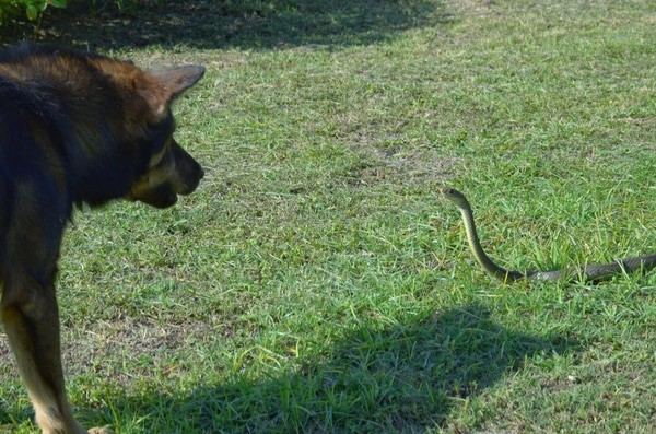 Are Snake Bites Fatal for Dogs? — Snakes for Pets
