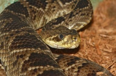 eastern diamondback rattlesnake facts