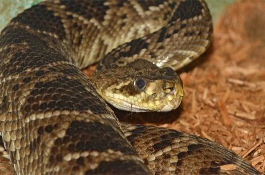 Eastern Diamondback Rattlesnake Interesting Facts and