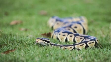 facts about ball python snakes
