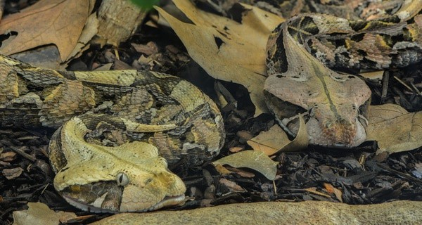 How does the gaboon viper hide?