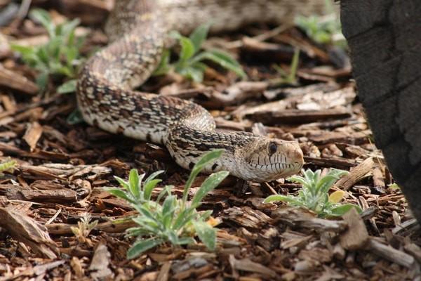 snakes that look like rattlesnakes