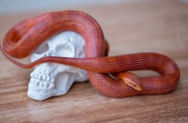 Beautiful corn snake colors