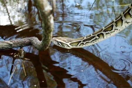 How many Burmese pythons are there in Florida?