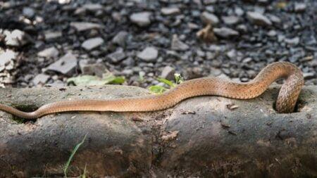 how do snakes make holes?
