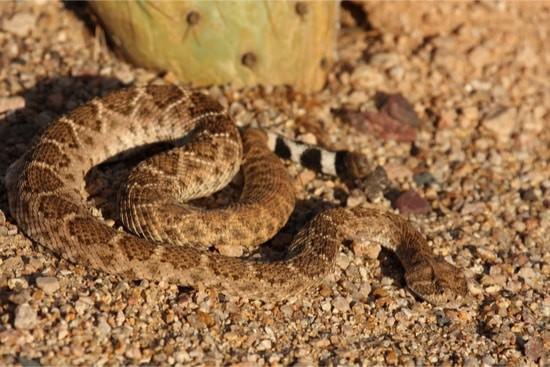 / snake adaptations in the desert
