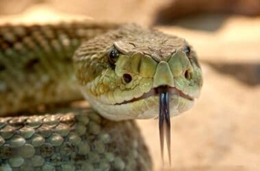 how far will rattlesnakes travel from their den?
