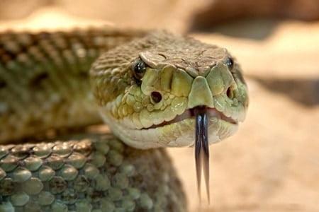 how far will rattlesnakes travel from their den?