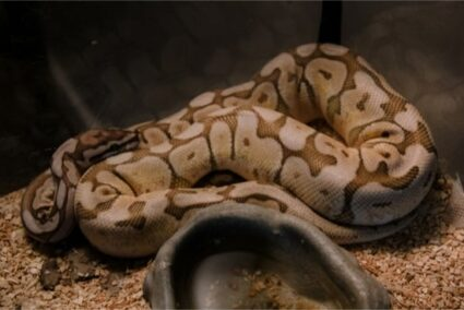 how to identify a pastel ball python