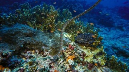 how to identify the belcher's sea snake
