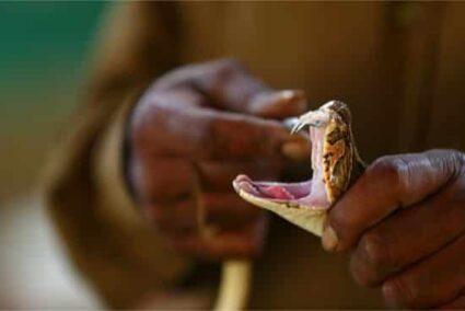 poisonous fangs of a venomous snake