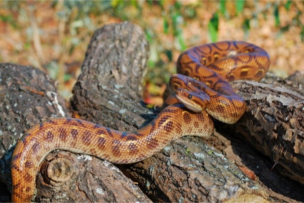 rainbow boa snake facts
