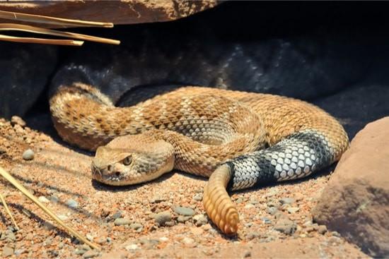 How do Snakes Adapt to the Desert?