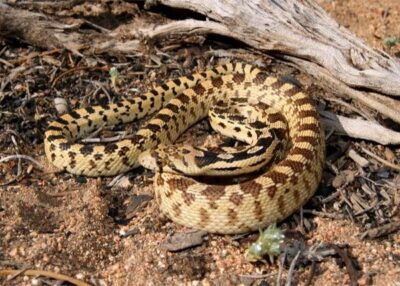 snakes mistaken for rattlesnakes