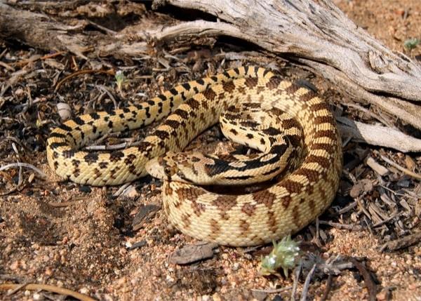 baby gopher snake vs baby rattlesnake