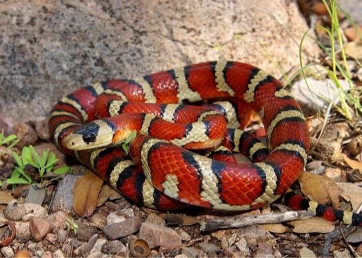 do snakes eat snakes?