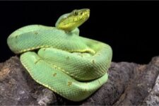 two striped Forest Pit Viper