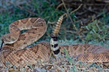 venomous texan snakes