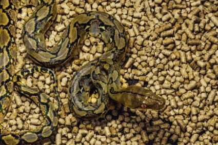 what are the signs of septicemia in snakes?
