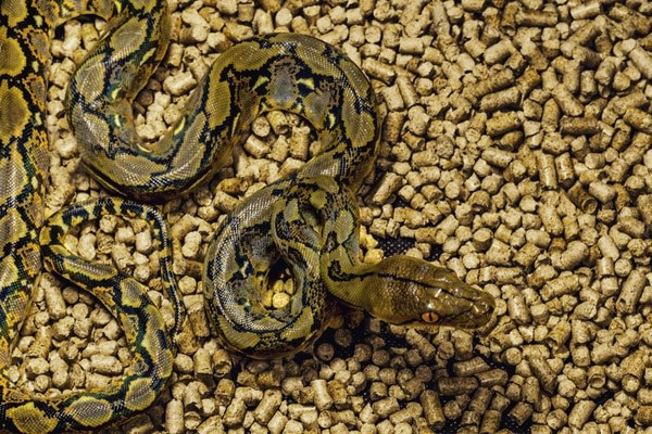 septicemia in snakes symptoms