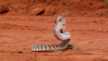 what snake can strike the farthest?